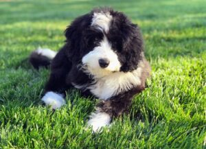 Tips and Tricks to Prevent Mini Bernedoodles From Shedding