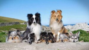 Shetland Sheepdog Puppies For Sale in the United States