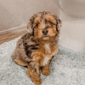 Toy Aussiedoodle Breeders in the United States