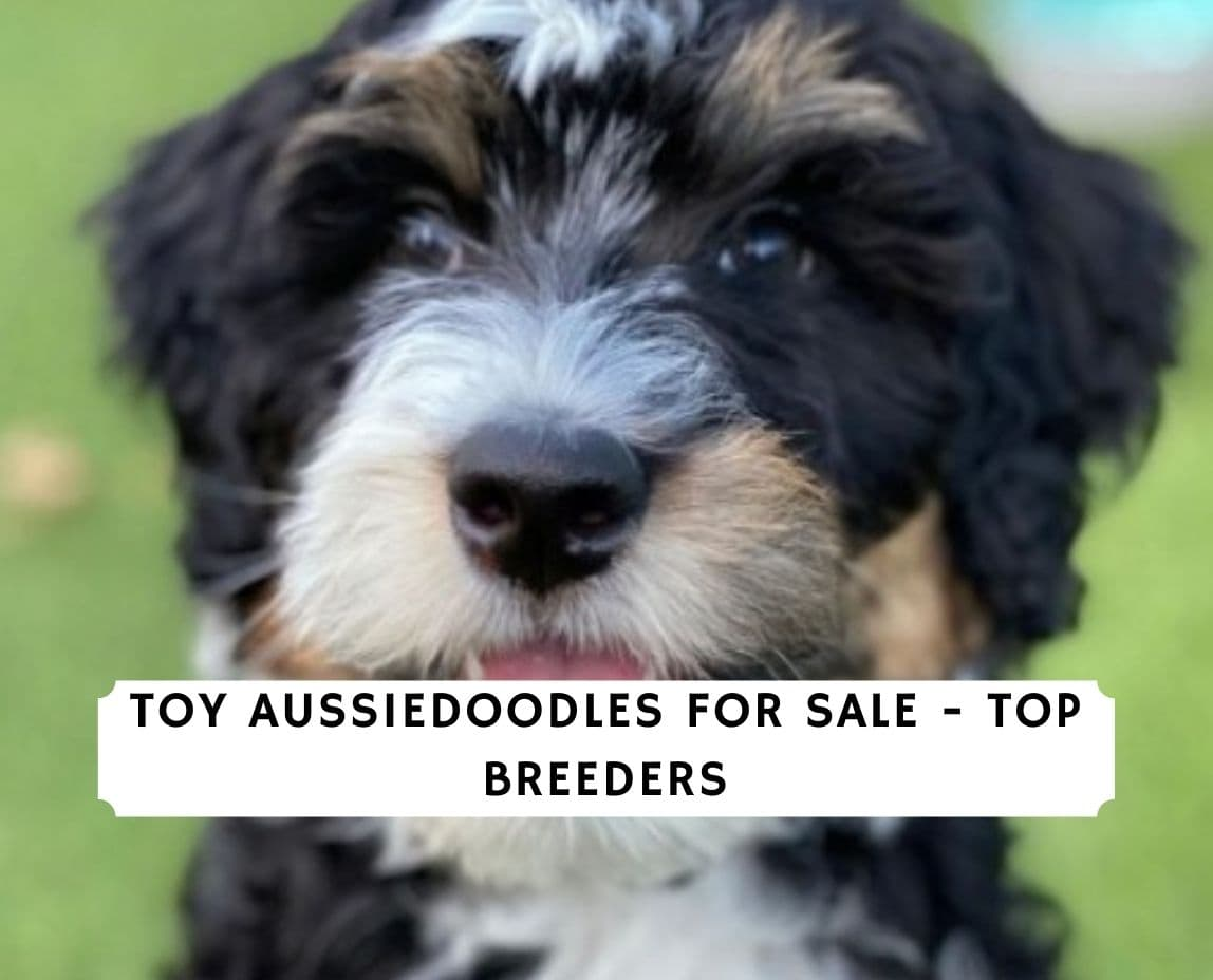 Toy Aussiedoodles For Sale