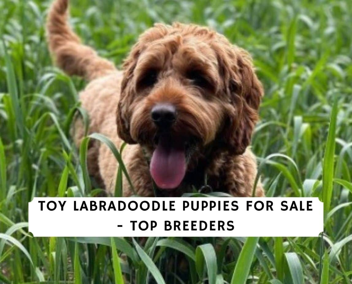 Toy Labradoodle Puppies For Sale