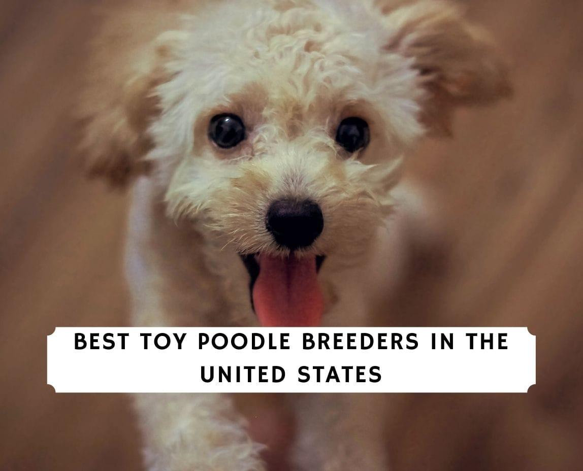 Toy Poodle Breeders