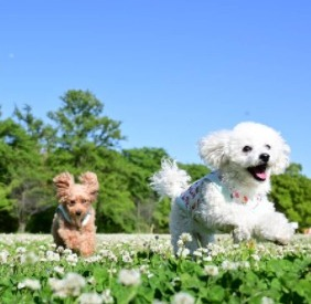 Toy Poodle Puppies For Sale in the United States