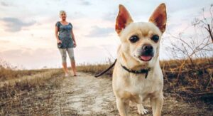 Training Your Chihuahua
