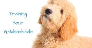 Training Your Standard Goldendoodle