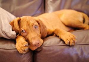 Vizsla Puppies For Sale in California