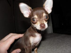 Conclusion For Is My Chihuahua Too Skinny
