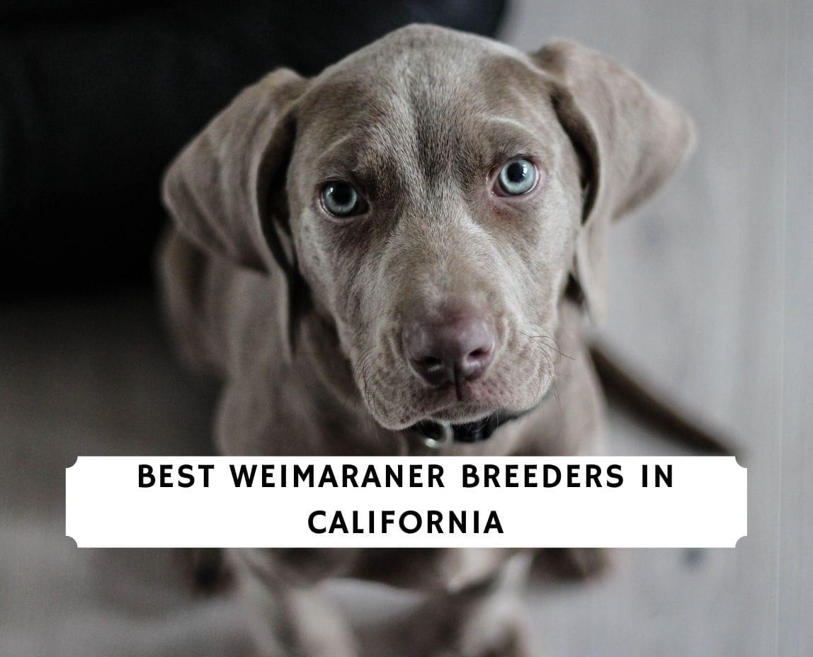 Weimaraner Breeders in California
