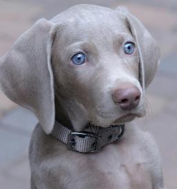 Weimaraner Puppies For Sale in California