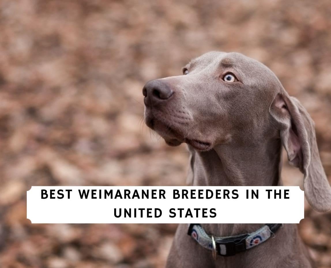 Weimaraner Breeders