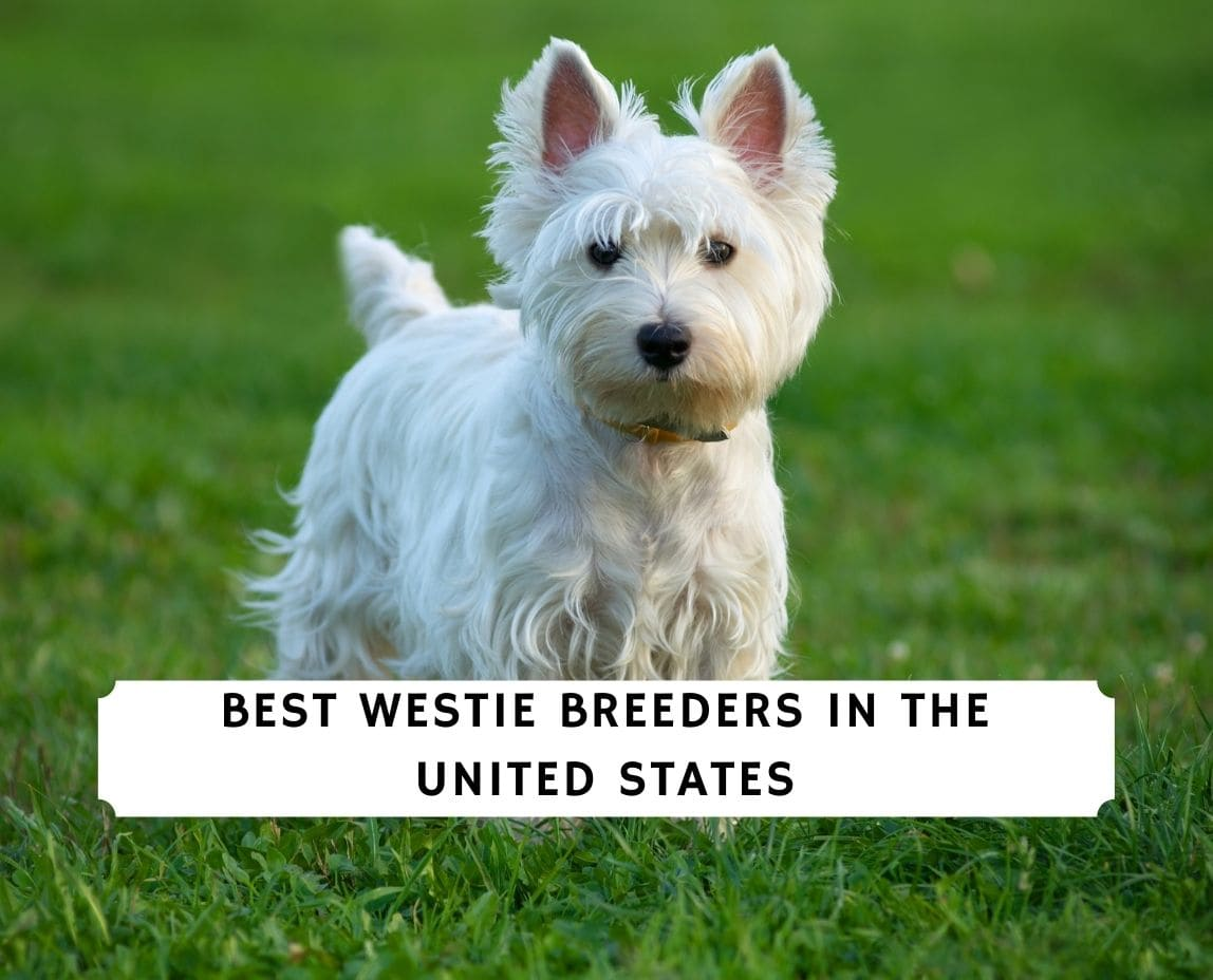 Westie Breeders