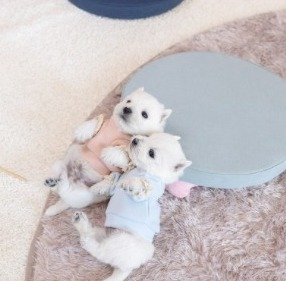 Westie Puppies For Sale in the United States