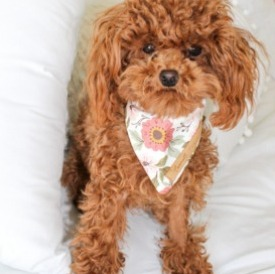 What Does a Red Maltipoo Look Like