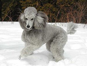 What Does a Silver Standard Poodle Look Like