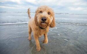 What Factors Affect a Goldendoodle's Energy Level?