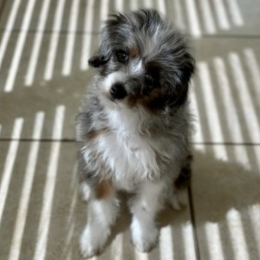 What Factors Can Lead to Increased Shedding in an Aussiedoodle