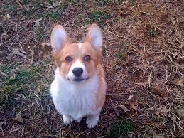 What If Your Corgi's Ears Never Stand Upright?