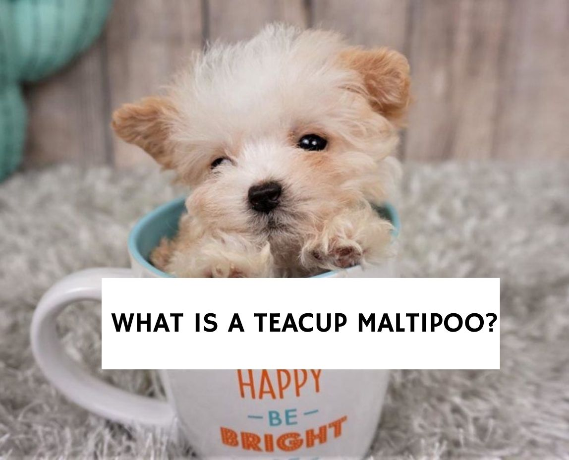 What Is A Teacup Maltipoo