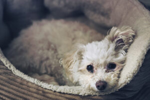 What Is a Chihuahua Poodle Mix