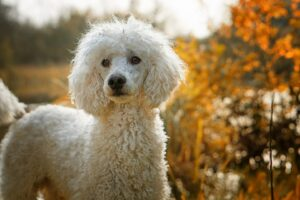 What Kind of Coats Do Poodles Have?