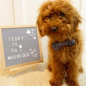 What Makes a Maltipoo Red