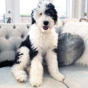 What Makes the Sheepadoodle Hypoallergenic