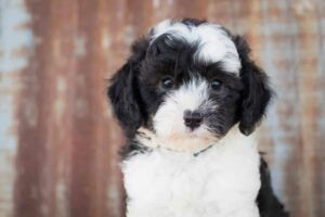 What Makes the Sheepadoodle Non-Hypoallergenic