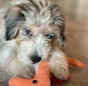 What Should You Look For in a Toy Aussiedoodle Breeder
