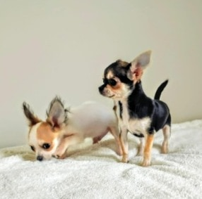 What To Do If Your Chihuahua is Too Skinny