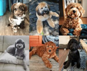 What Types of Coats Do Brown Labradoodles Have