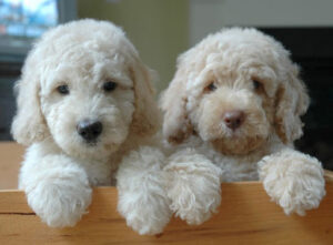 What are Micro-Labradoodles exactly