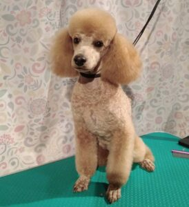 What are Other Popular Haircuts for Poodles?