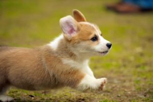 What are the Dangers of Corgis Jumping