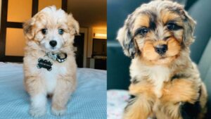 What are the Differences Between Aussiedoodle Coats