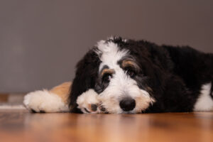 What if my Bernedoodle has Developed a Health Issue