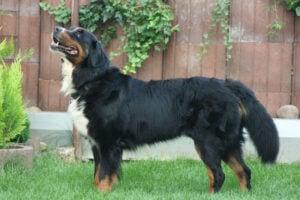 Bernese Mountain Dog Parent