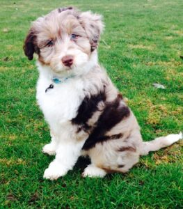 What is a Mini Aussiedoodle?
