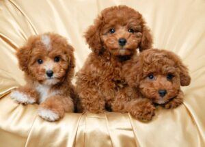 Conclusion For Red Maltipoo Information Facts Images