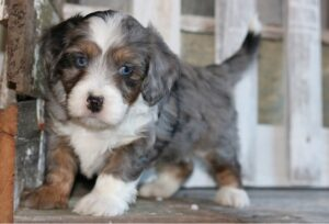 What is a Tiny Bernedoodle