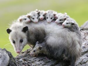 What is an Opossum