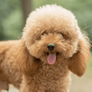 Conclusion For Poodle Teddy Bear Cut