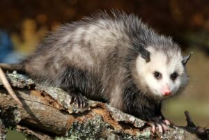 What to Do If Your Dog is Attacked By an Opossum