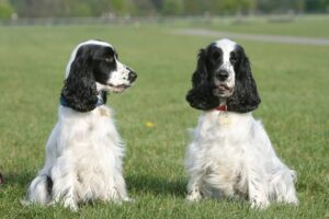 Which brings us to the topic of the hour, will your cockapoo shed since both a poodle and cocker spaniel have different types of coats