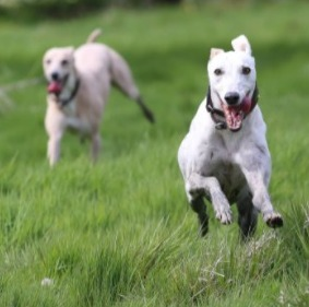 Whippet Puppies For Sale in the United States