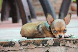 Are Chihuahuas Not As Intelligent