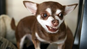 Conclusion For Why Are Chihuahuas so Aggressive
