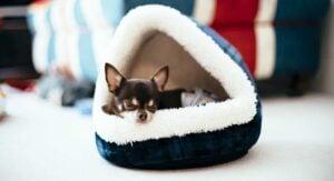 Reasons Why Chihuahuas Burrow