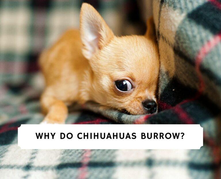 Why Do Chihuahuas Burrow