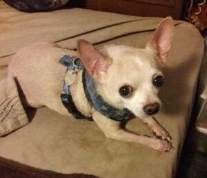 Chihuahua Following Its Instinct