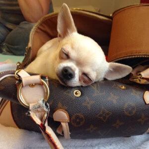 Reasons Why Chihuahuas Sleep So Much